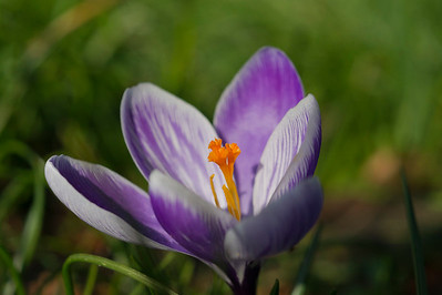 Striped Crocus Flower