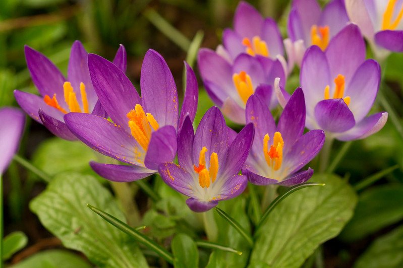 Crocus flowers with pollen