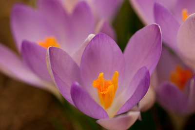 Detail of a Crocus Flower