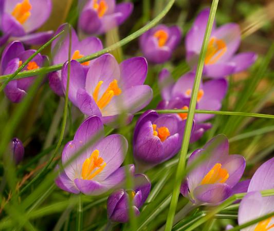 Purple Crocus Flowers