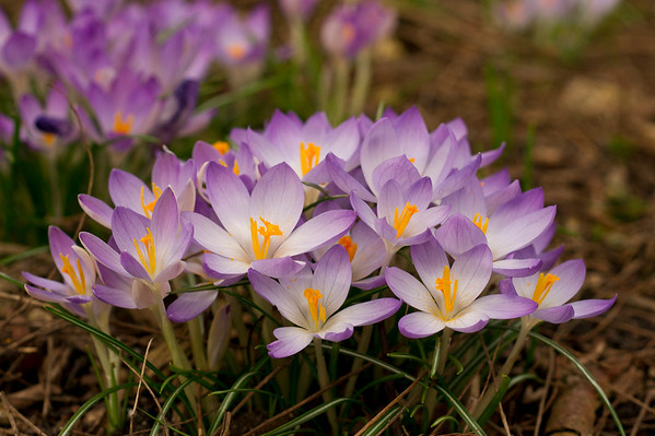 Grouped Crocus flowers