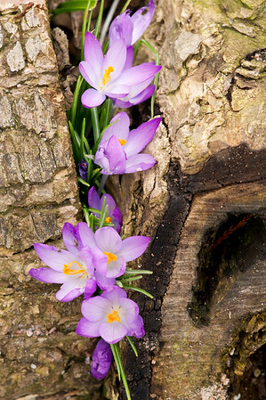 Purple crocus flowers peeking through a branch