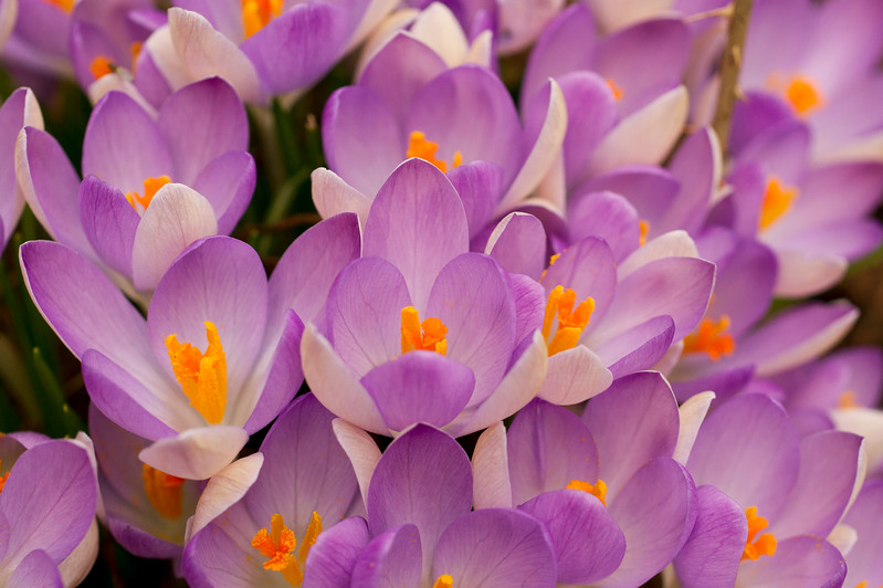 Group of Crocus Flowers