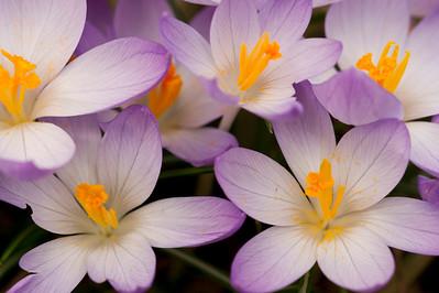 Frame filling purple crocus flowers