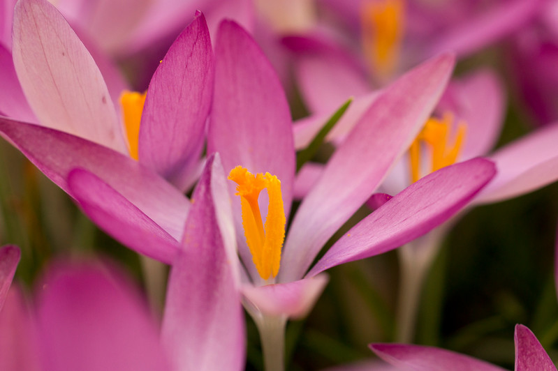 The crocus Tommansinnianus