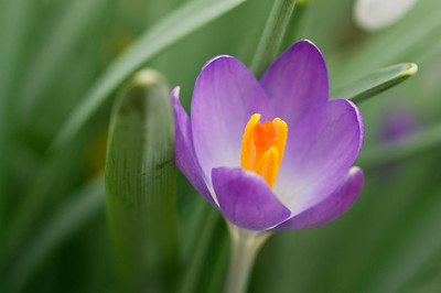 Purple crocus with it's yellow heart