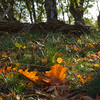 Quercus rubra leaves in the grass