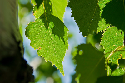 Close up of Birch Leaves in the Summer Sun