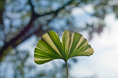Striped Gingko Biloba leaf
