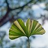 Striped Gingko Biloba leaf