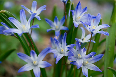 Blue Star Hyacinth flowers in Spring