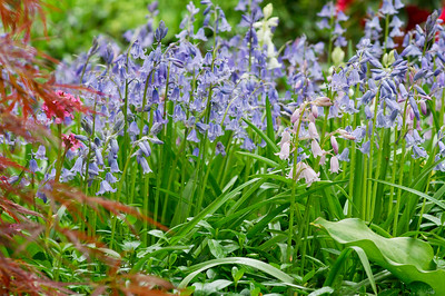Blue and Pink Scilla hispanica