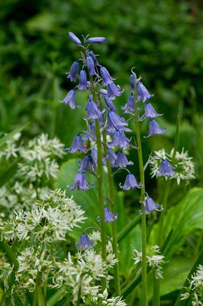 Blue Bells and Wild Garlic in spring