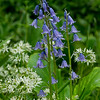 Blue Bells and Wild Garlic in spring