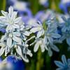 Star Hyacinth in light Blue