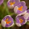 Side view of a group of Crocus flowers