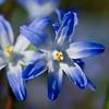 Blue Star Hyacinth flowers in Spring