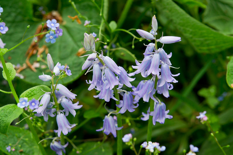 Blue Bells and Forget-me-not