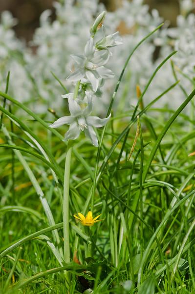 White Hyacinth with Lesser celandine