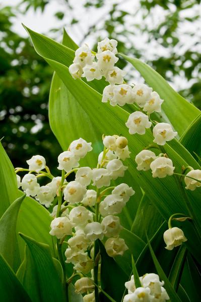 Convallaria majalis in spring