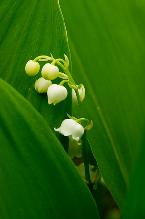 Lilly of the Valley single stem