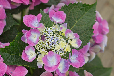 Purple  Hortensia