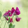Pink Lathyrus