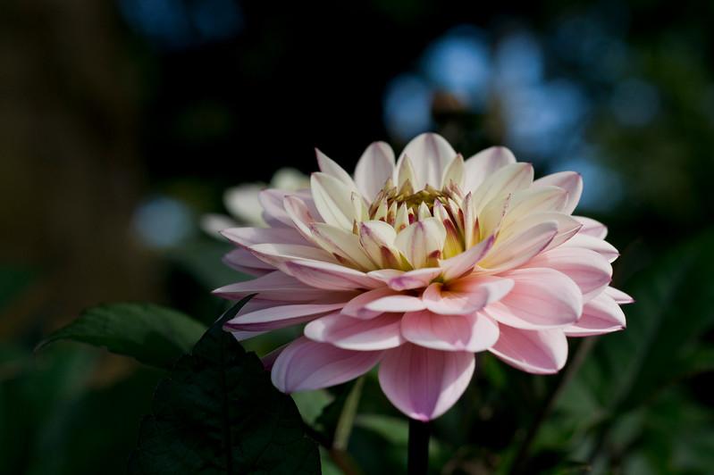 Light Pink Dahlia in bloom