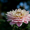 Light Pink Dahlia in bloom