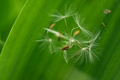 Dandelion seeds on Lily of the Valley leaves