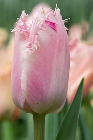 Tulipa Santander 01