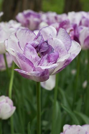 """Tulipa """"Shirley  02"""
