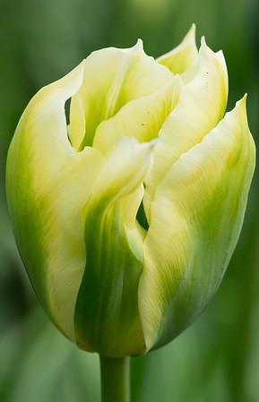 "Tulipa ""Spring Green"" 01"