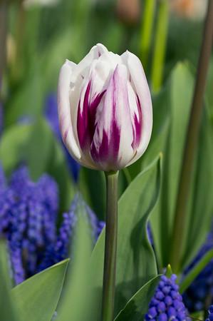 Tulip 'Flaming Flag' 01