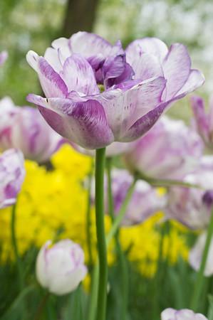 """Tulipa """"Shirley 01"""