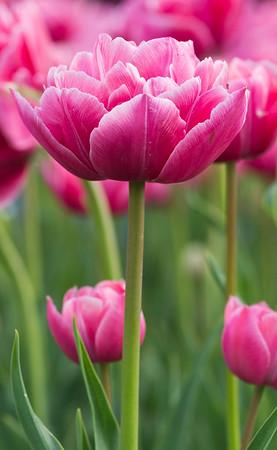 """Tulipa Double late group """"Aveyron""""  01"""