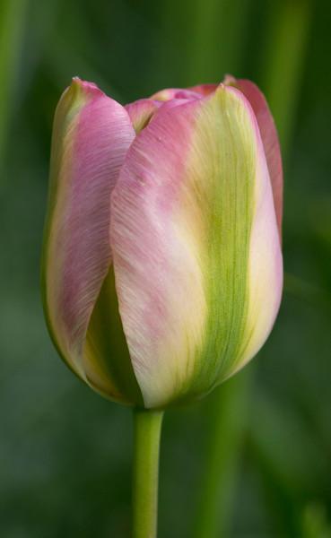 """tulipa viridiflora """"Groenland"""""""