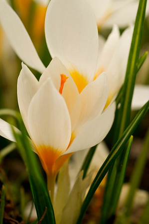 White and Yellow Crocus