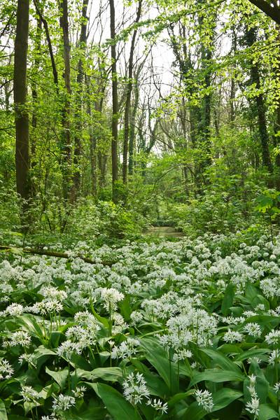 Wild Garlic in a Forest