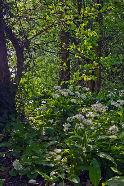 Wild garlic in Cronestein