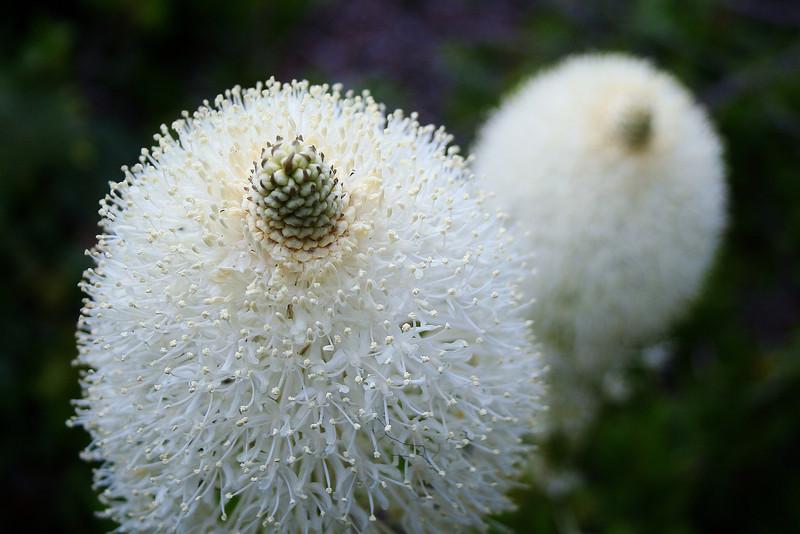 Bear Grass Flower Abstract