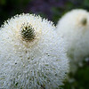 Bear Grass Flower Abstract