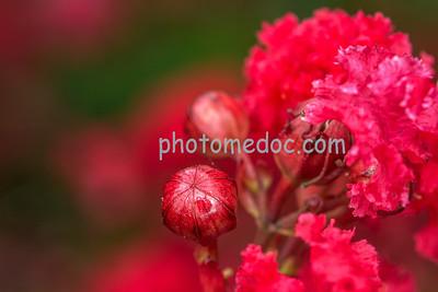 Pomegranate Lollipop Flowers