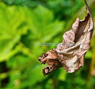 Elder Leaf of Fall
