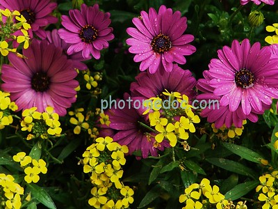 Purple Sunflowers with Yellow Flowers