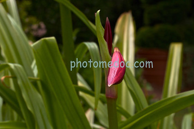 A Shy Red Tulip