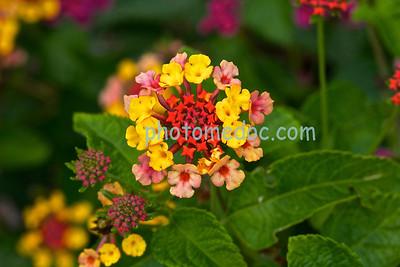 Bowtie Flowers