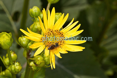 Napping Bee on Yellow Flower