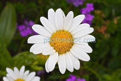 White Sunflowers