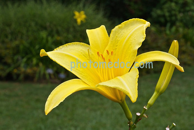 Lovely Yellow Lilly